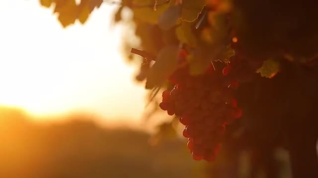 Grapes In Vineyard At Sunset: Stock Video