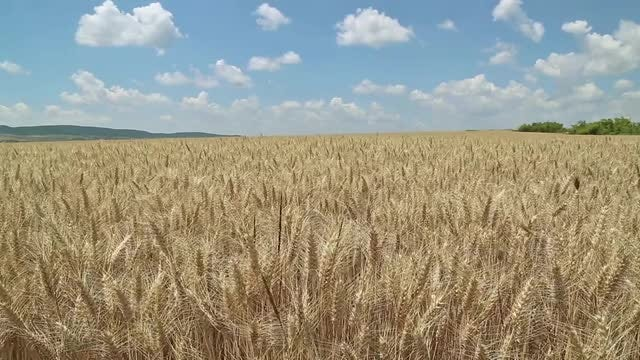 Wind Blowing Through Wheat Field : Stock Video