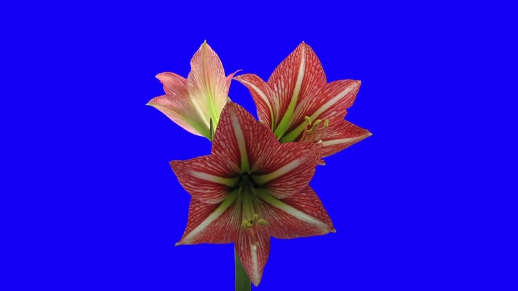 Minerva Amaryllis Christmas Flower Opening: Stock Video