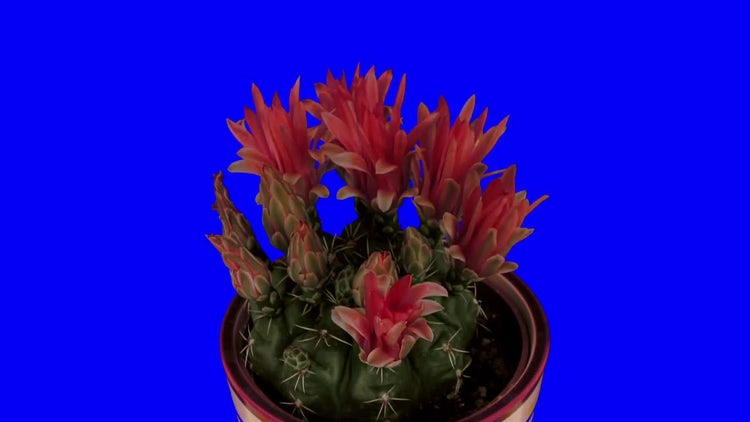 Red Cactus Flower Blooming: Stock Video