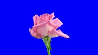 Pink Aqua Rose Flower Opening: Stock Video