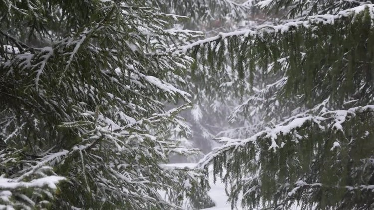 Conifer Pine Forest In Winter: Stock Video