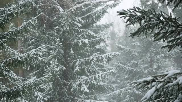Green Christmas Trees In Winter: Stock Video