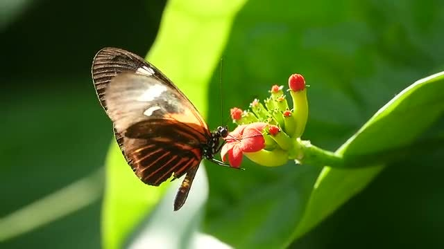 Butterfly Pollinating A Red Flower : Stock Video
