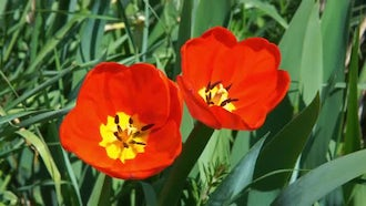 Close-up Of Beautiful Red Tulips: Stock Video