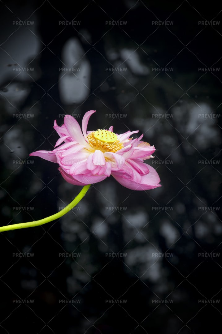 Pink Lotus: Stock Photos