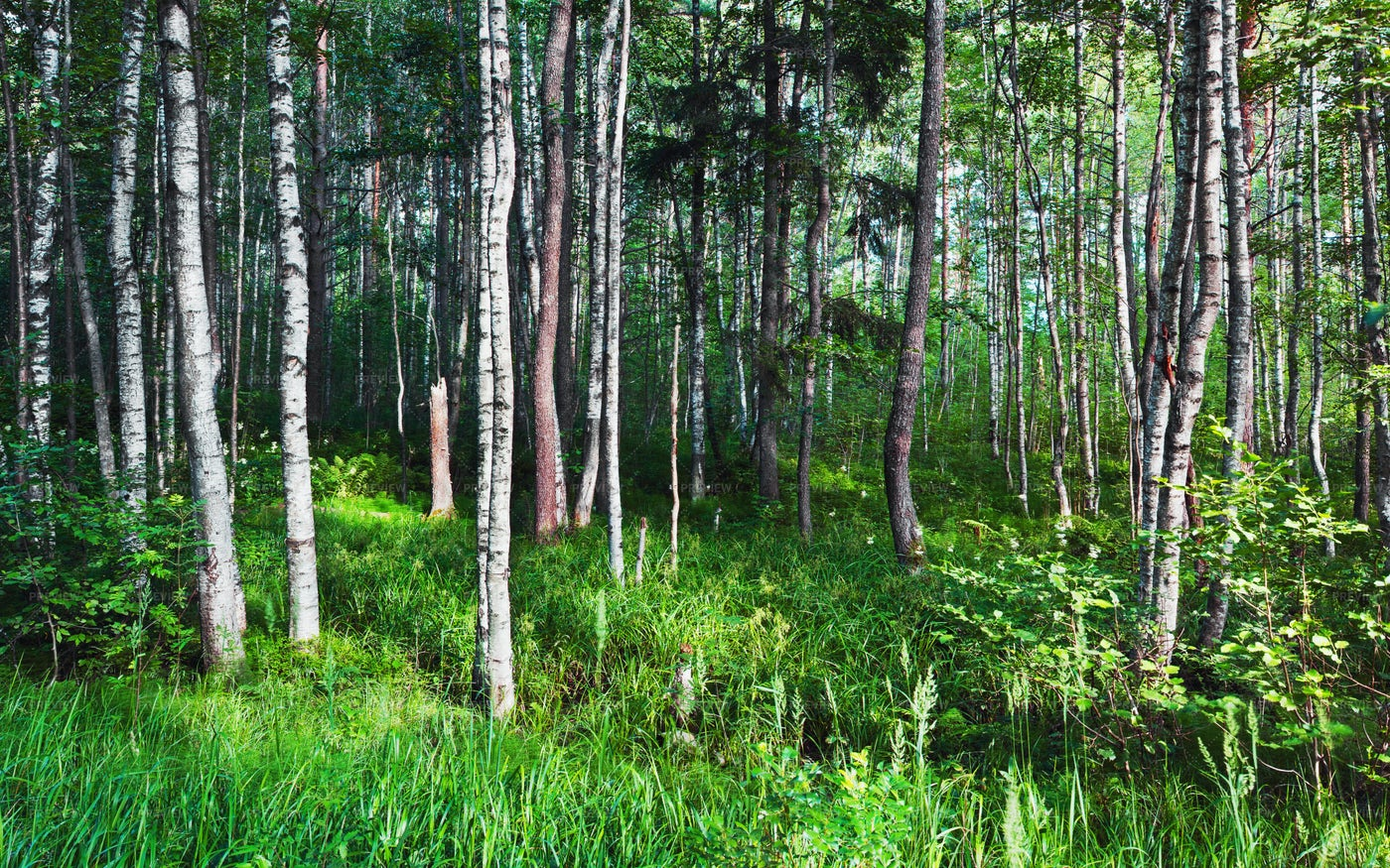 Birch Forest: Stock Photos
