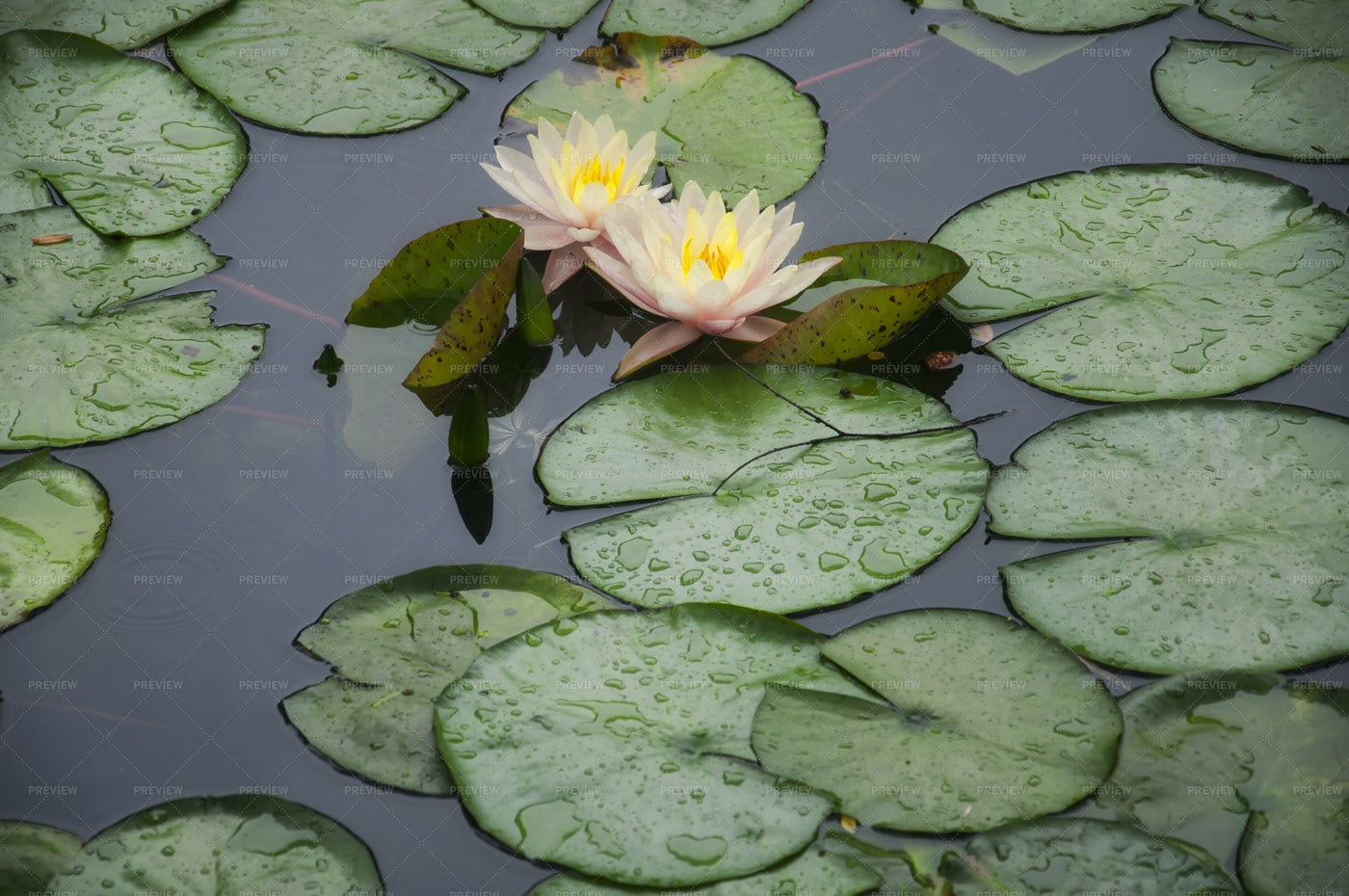Peach Colored Water Lilies: Stock Photos