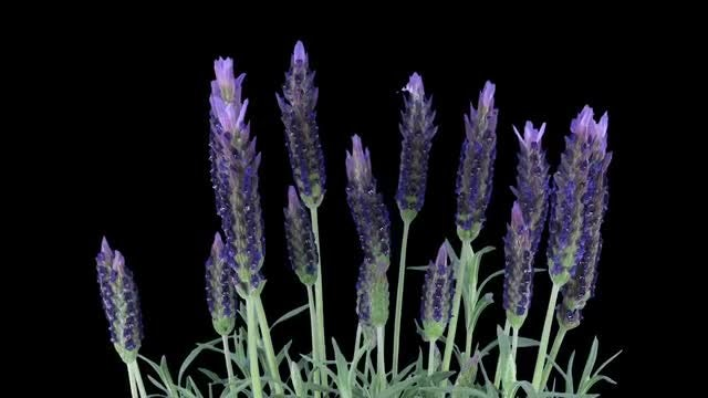 Time-lapse Of Lavender Plant Growing: Stock Video