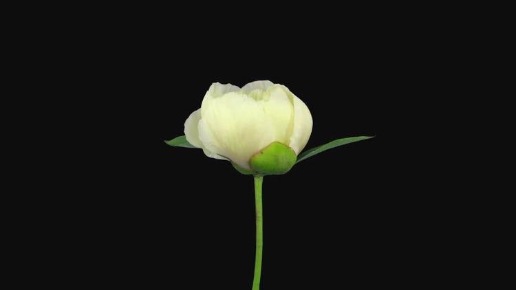 White Peony Flower Opening: Stock Video