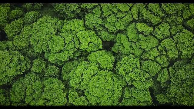 Hawaiian Forest Tree Tops: Stock Video