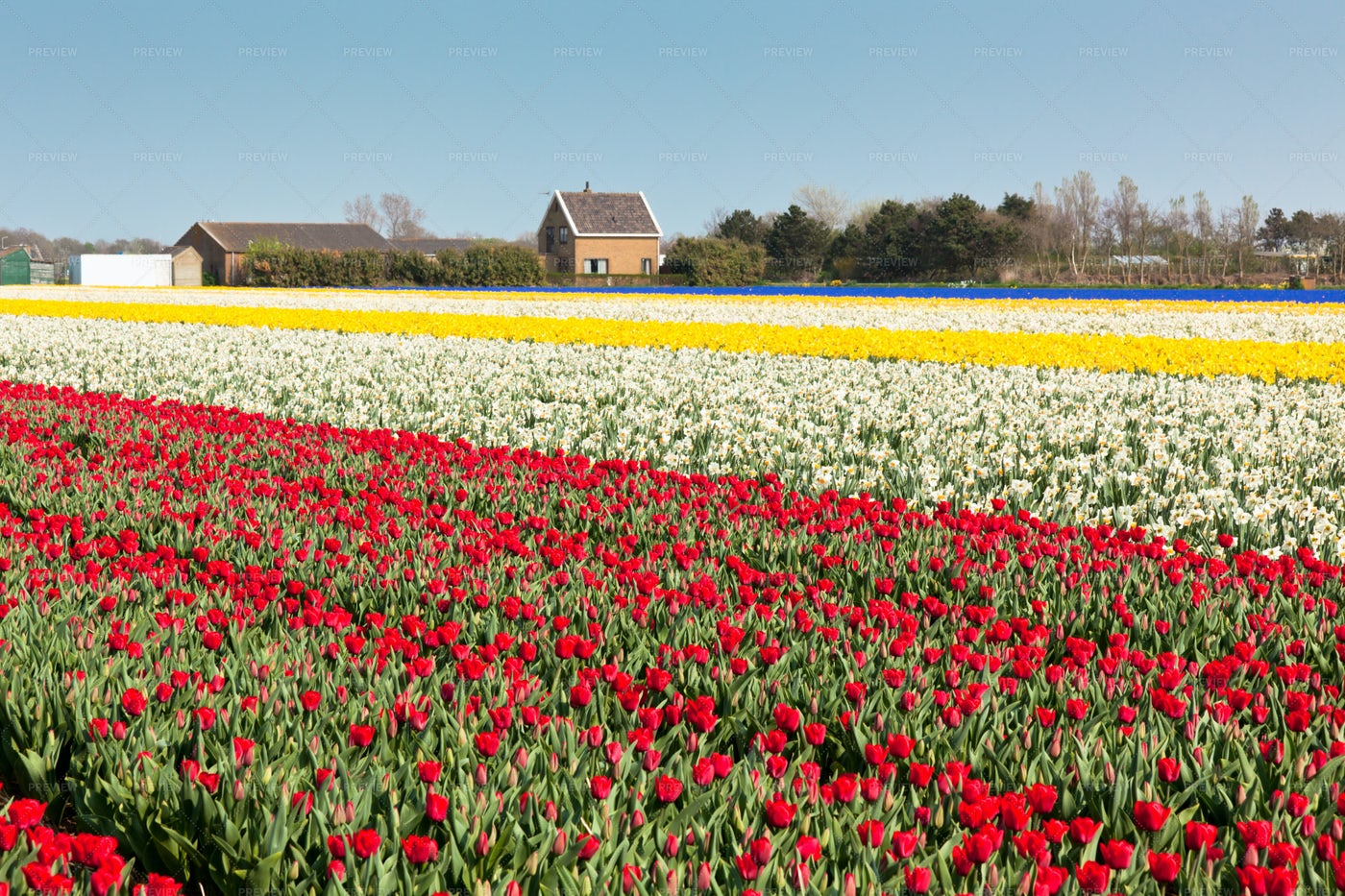 Narcissus And Red Tulip Field: Stock Photos