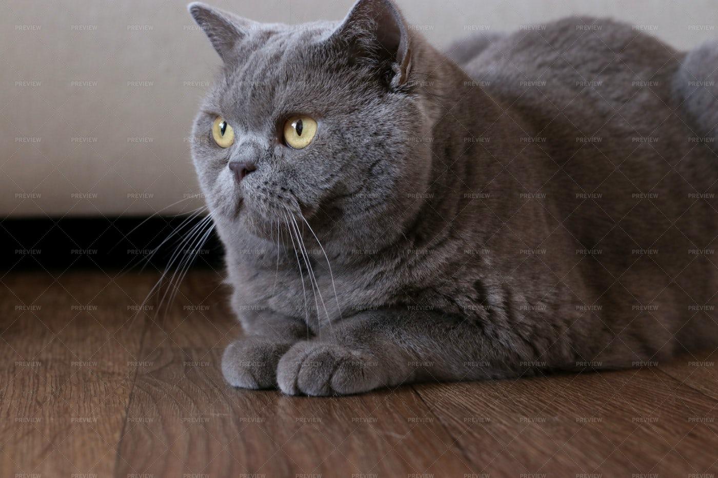 British Shorthair Cat: Stock Photos