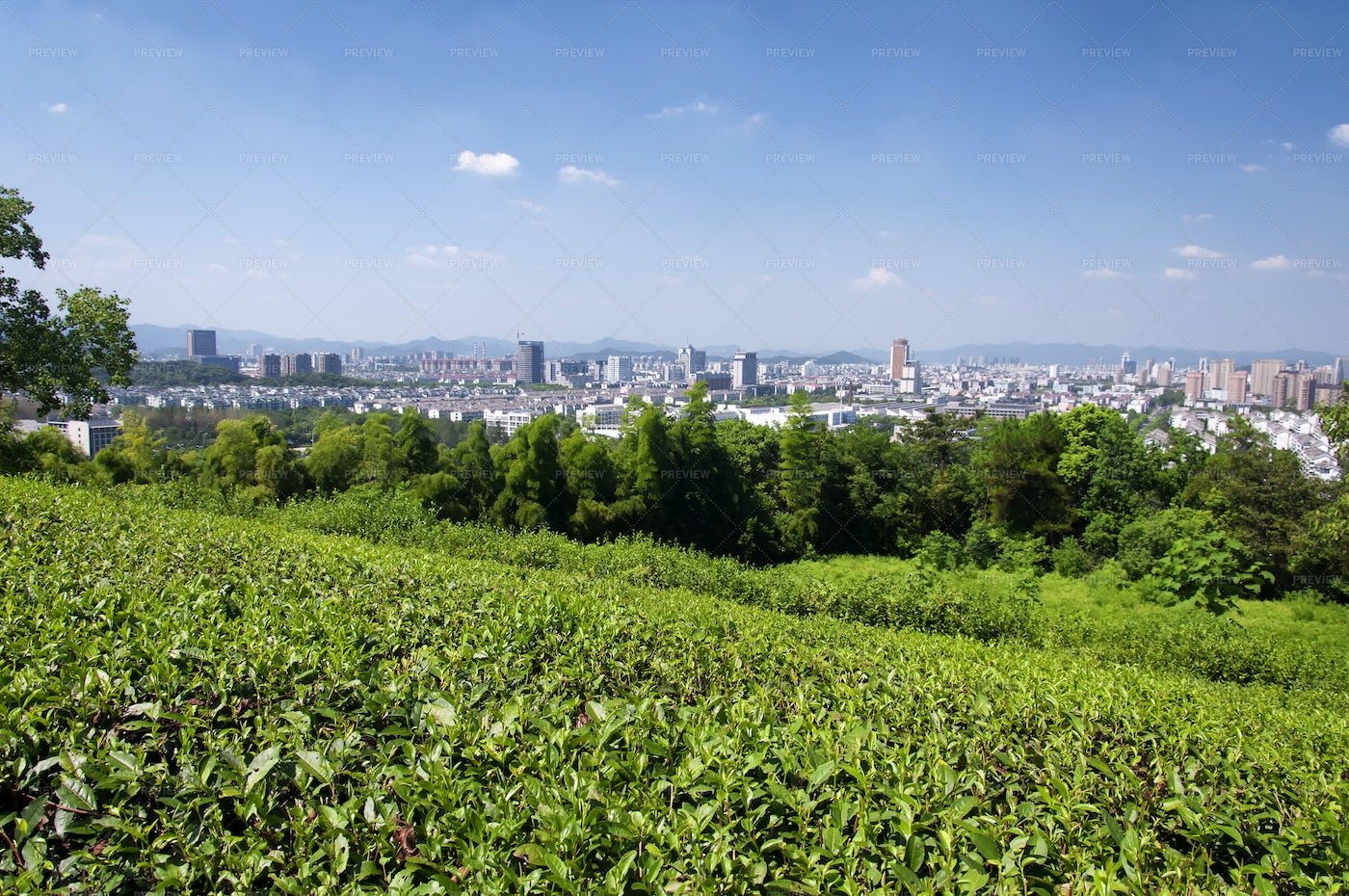 Tea Fields Beyond The City: Stock Photos