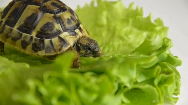 Little Turtle On Green Lettuce: Stock Video