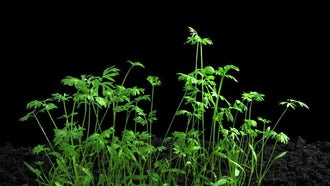 Phototropism On Growing Carrots: Stock Footage