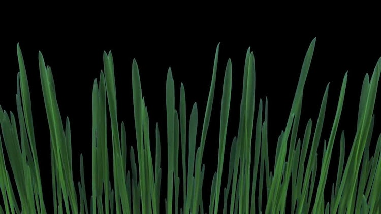 Barley Seeds Germinating And Growing  : Stock Video