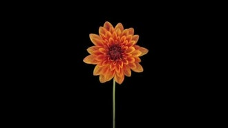Orange Dahlia (Georgine) Flower Opens: Stock Video