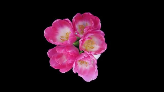 Opening And Dying Pink Tulips : Stock Video