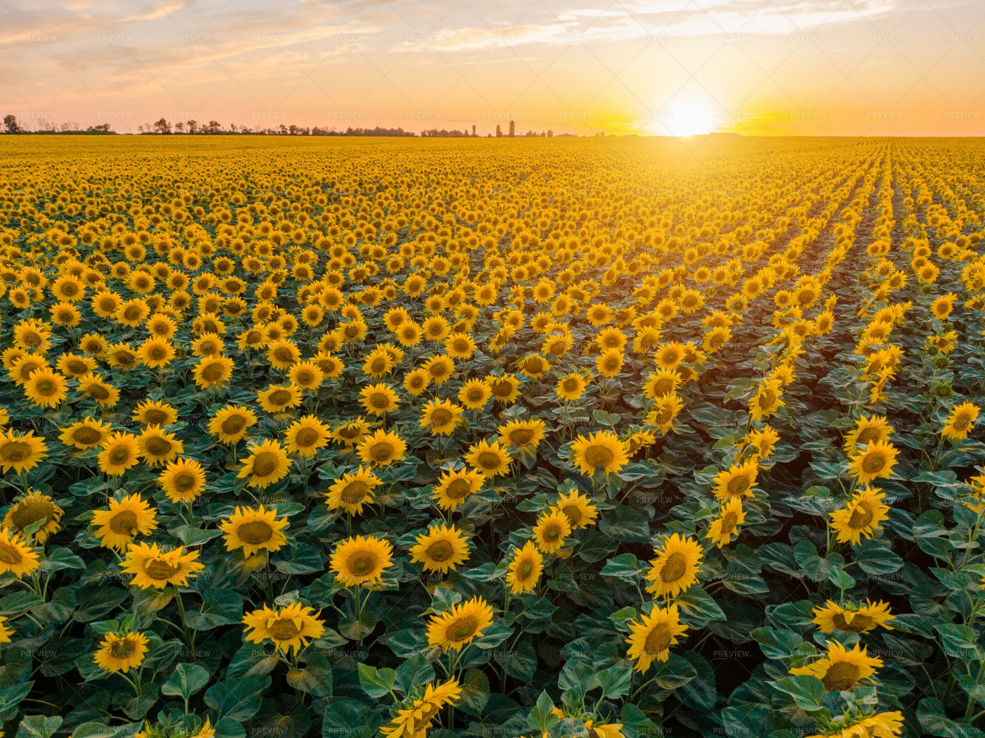 Rows Of Sunflowers: Stock Photos