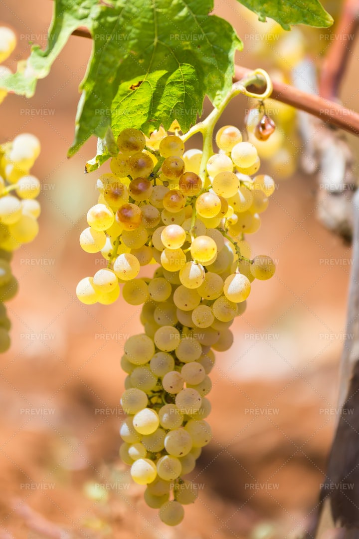 Bunch Of White Grapes: Stock Photos