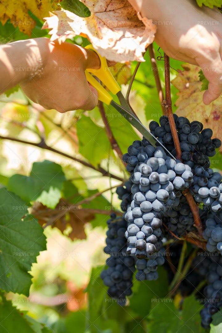 Ripe Purple Grapes Close-Up: Stock Photos