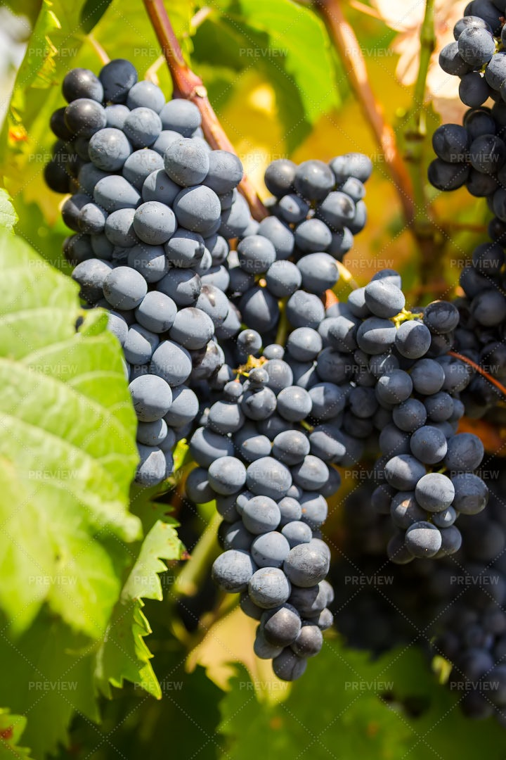 Close-Up Of Grapes On A Vine: Stock Photos