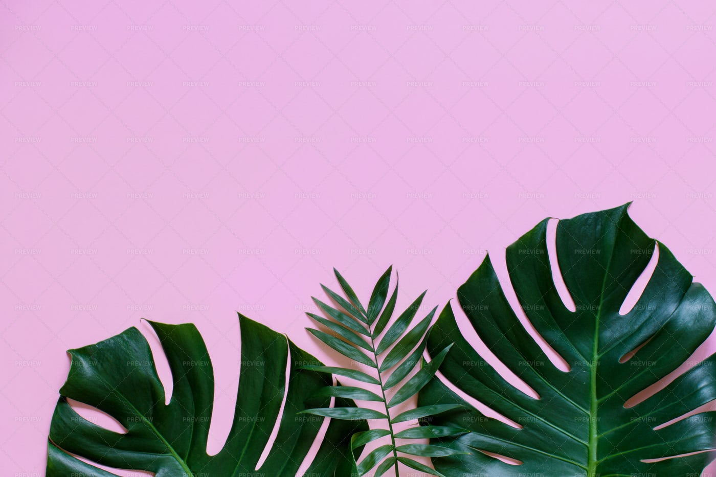 Monstera Leaves On Pink: Stock Photos