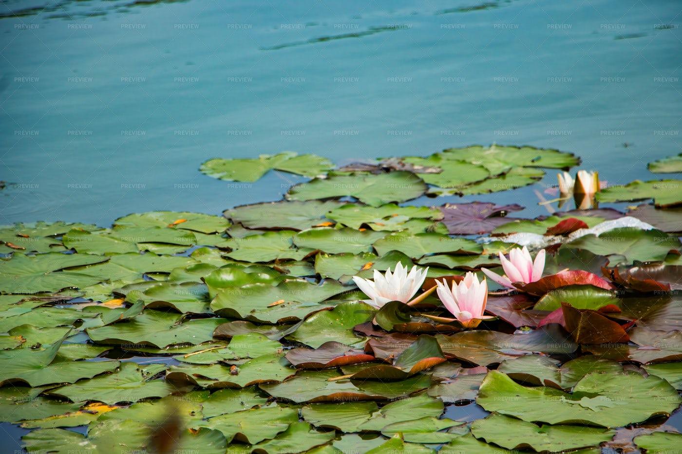 Pink Lotuses: Stock Photos