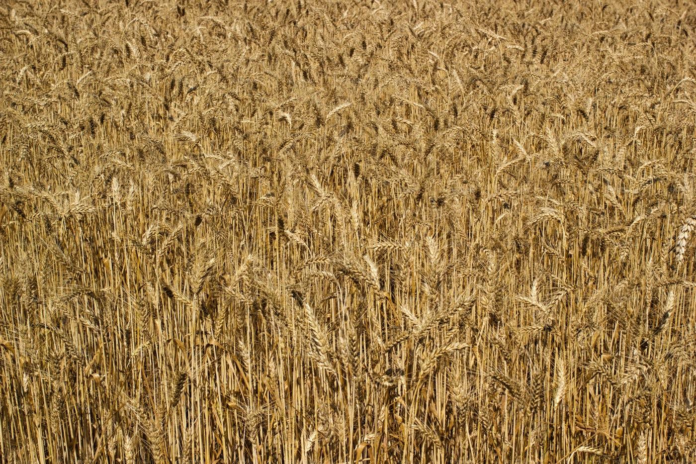 Ripe Wheat Background: Stock Photos