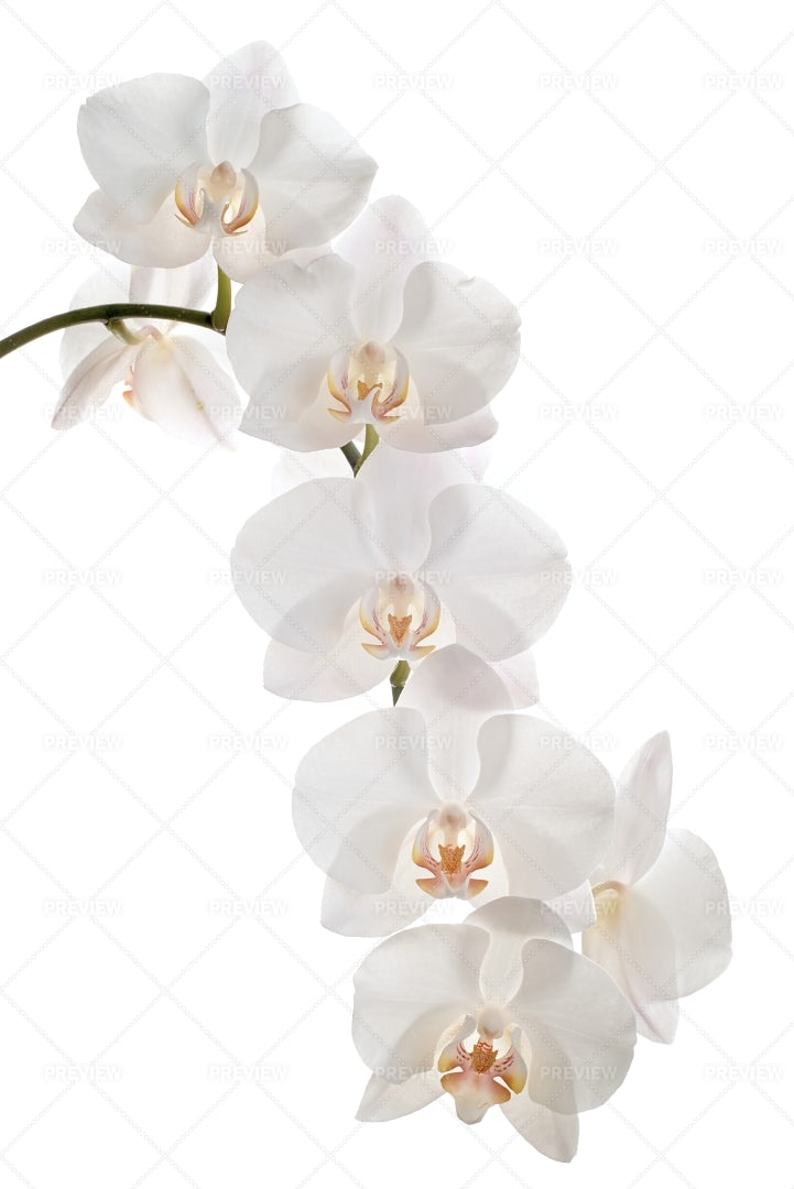 White Orchid Flowers: Stock Photos