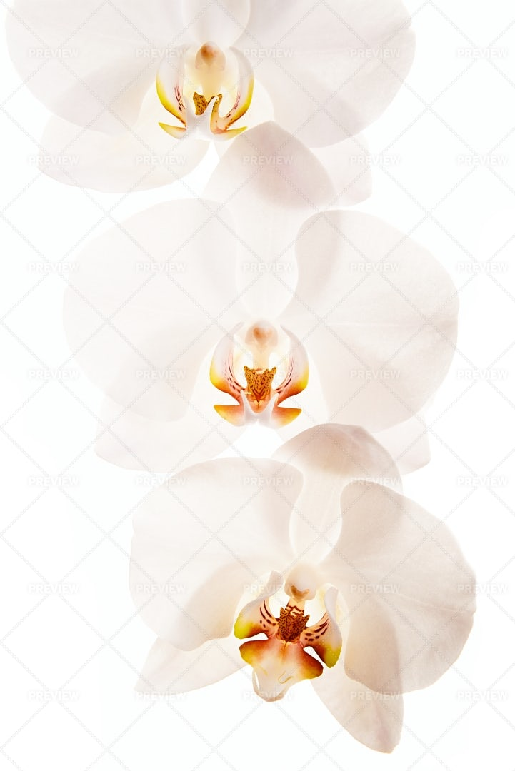 Orchid: Stock Photos