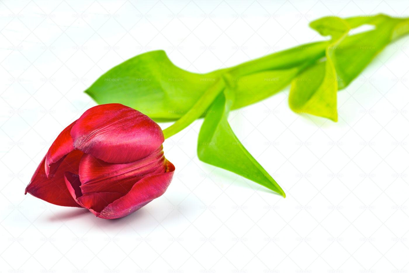 One Tulip Flower: Stock Photos
