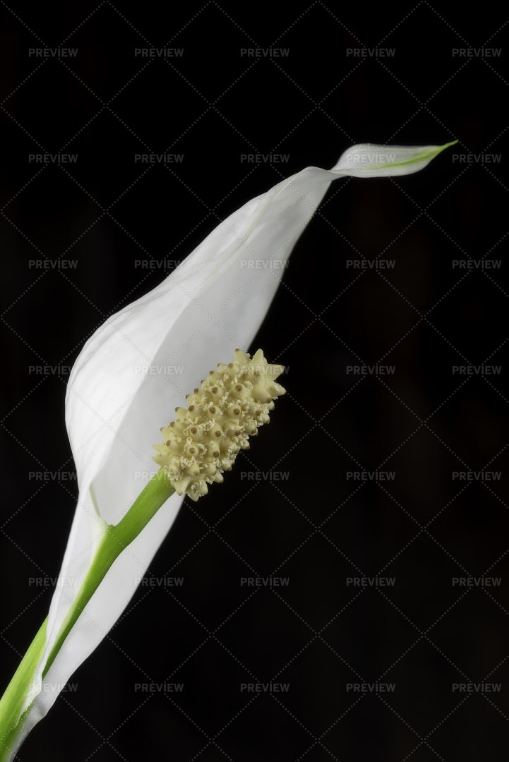 Calla Flower: Stock Photos