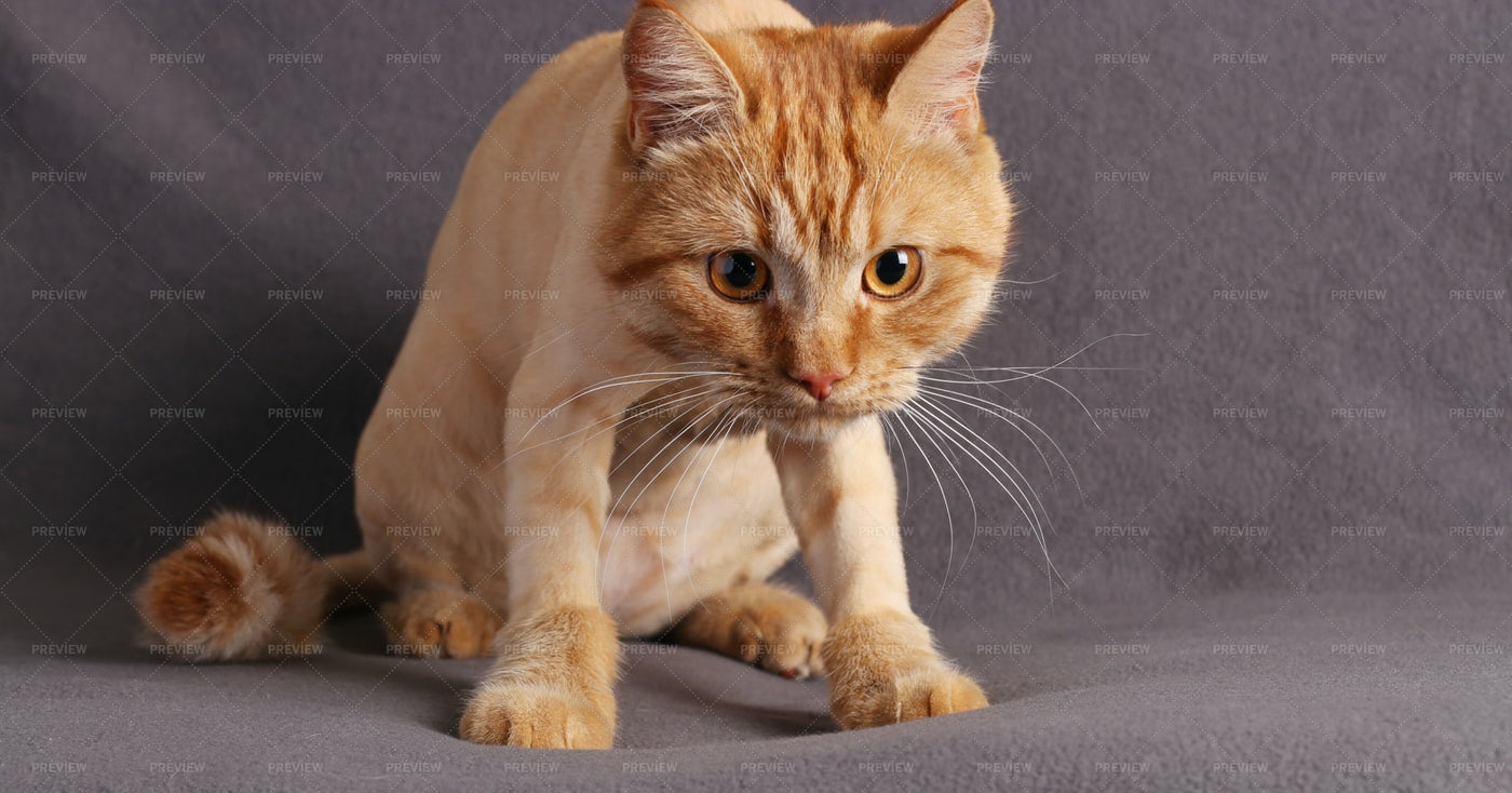 Ginger Tabby Kitten Staring At Camera: Stock Photos