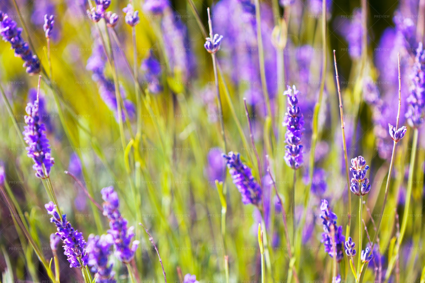Lavender Close-Up: Stock Photos