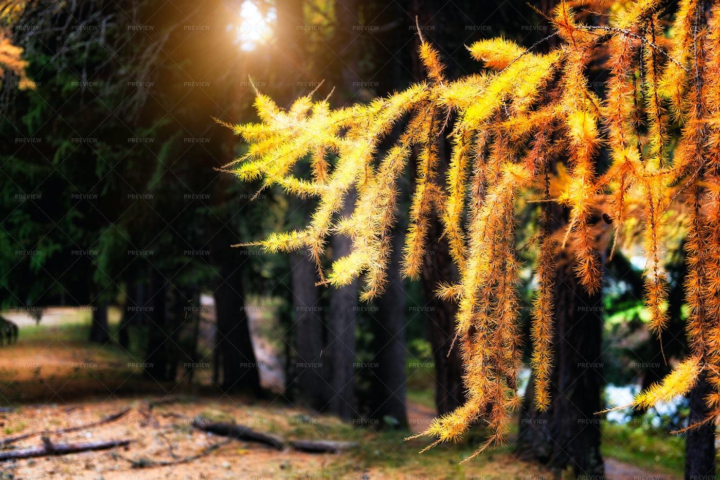 Autumn Larch Branch: Stock Photos