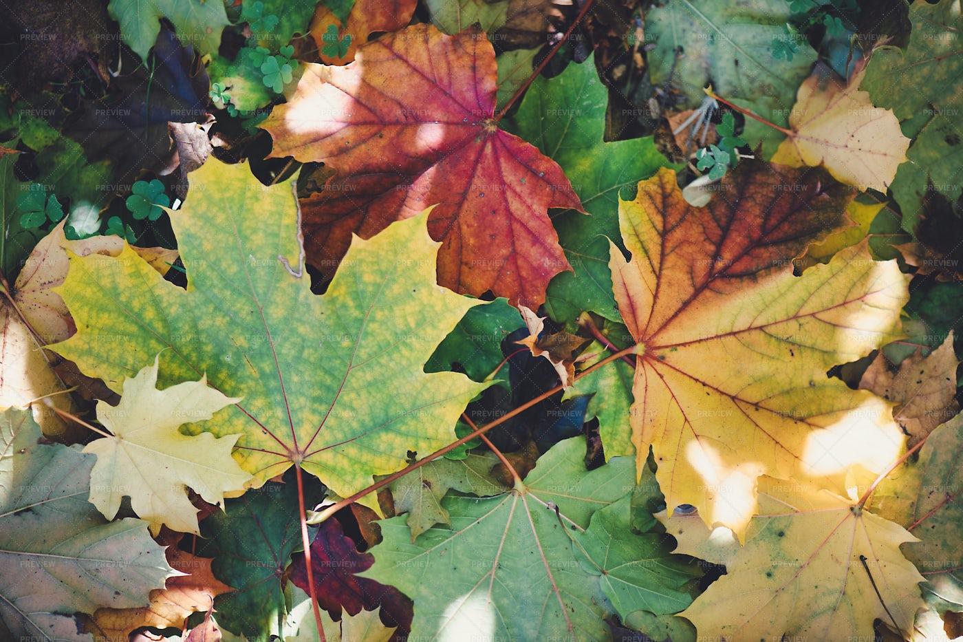 Autumn Leaves Close-Up: Stock Photos