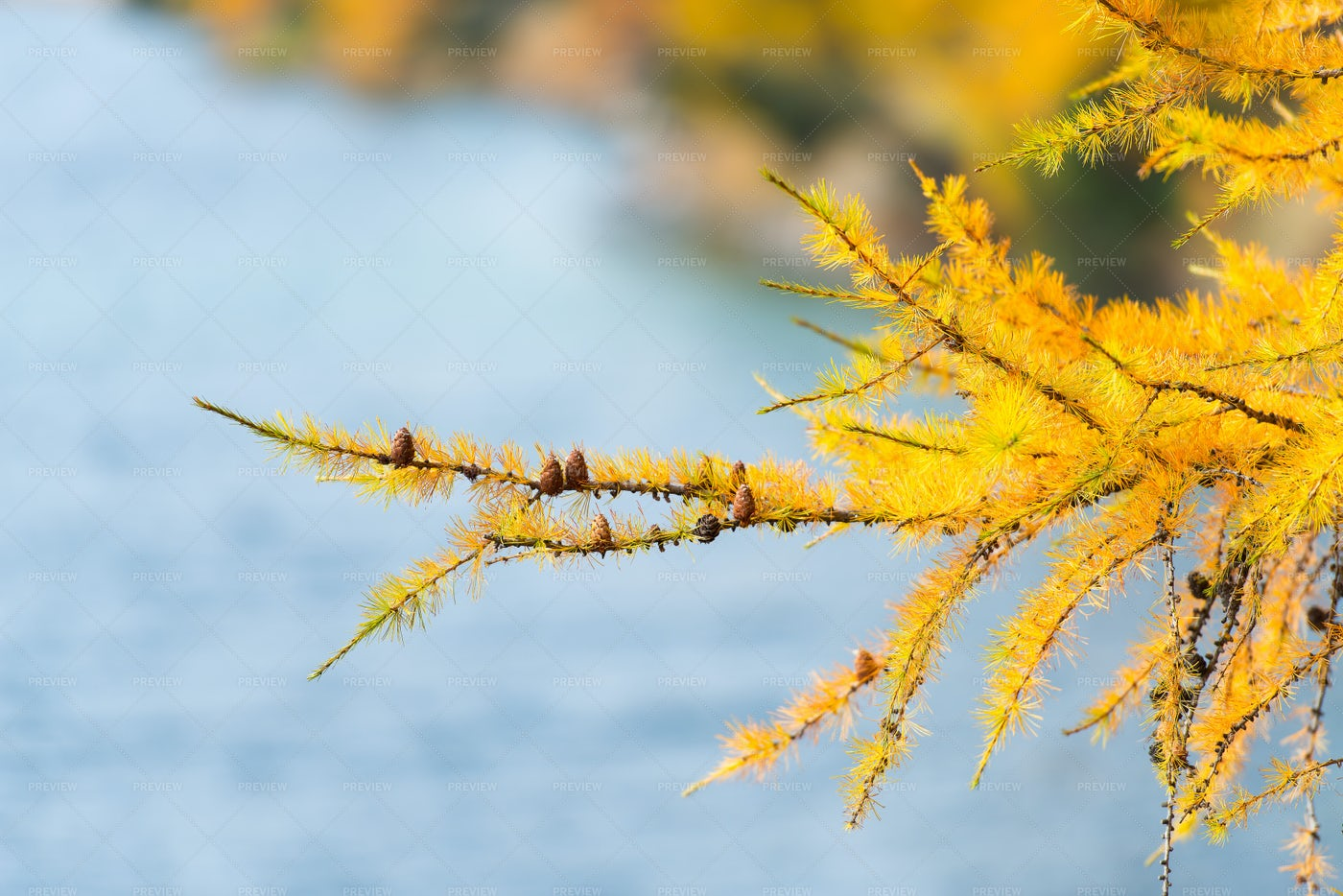 Branch Of Larch: Stock Photos