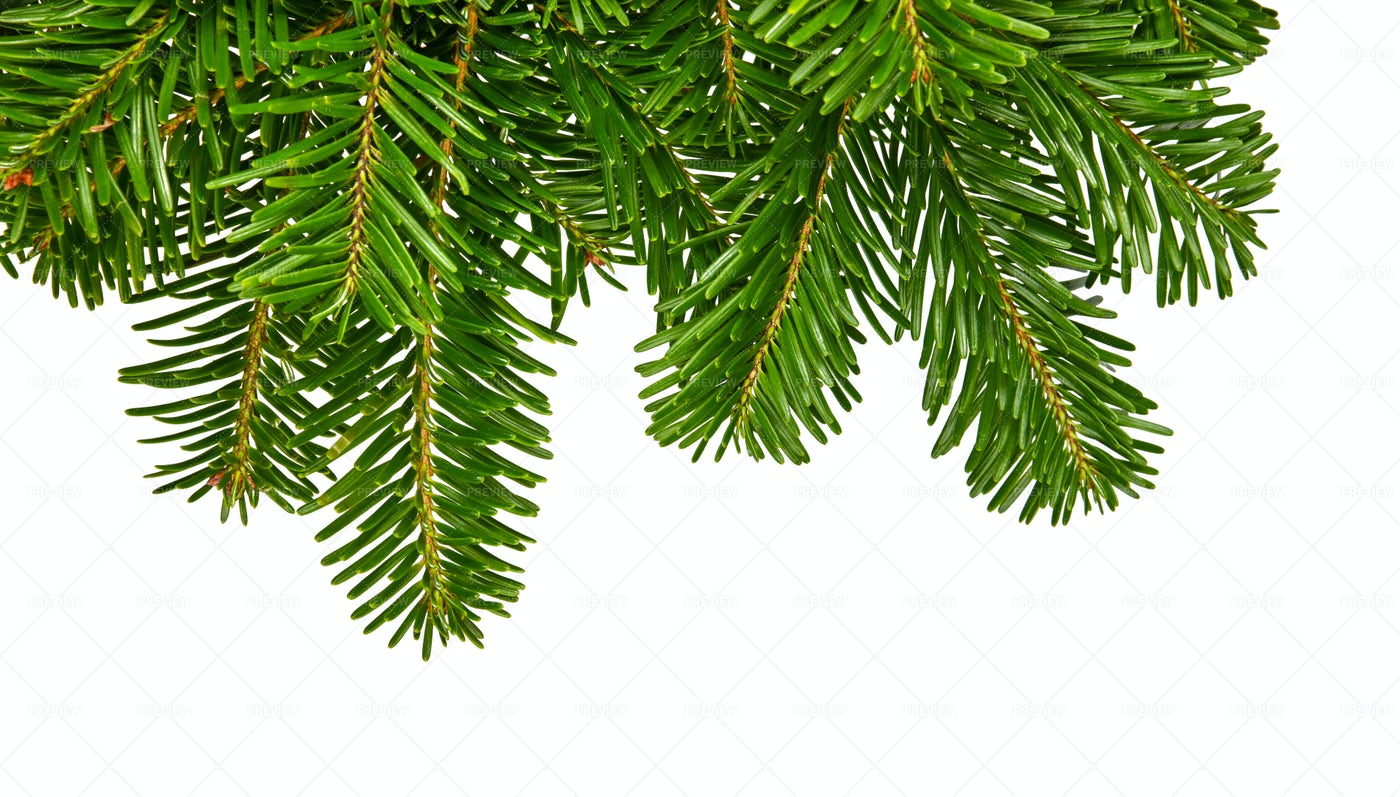 Green Spruce Tree Branches: Stock Photos