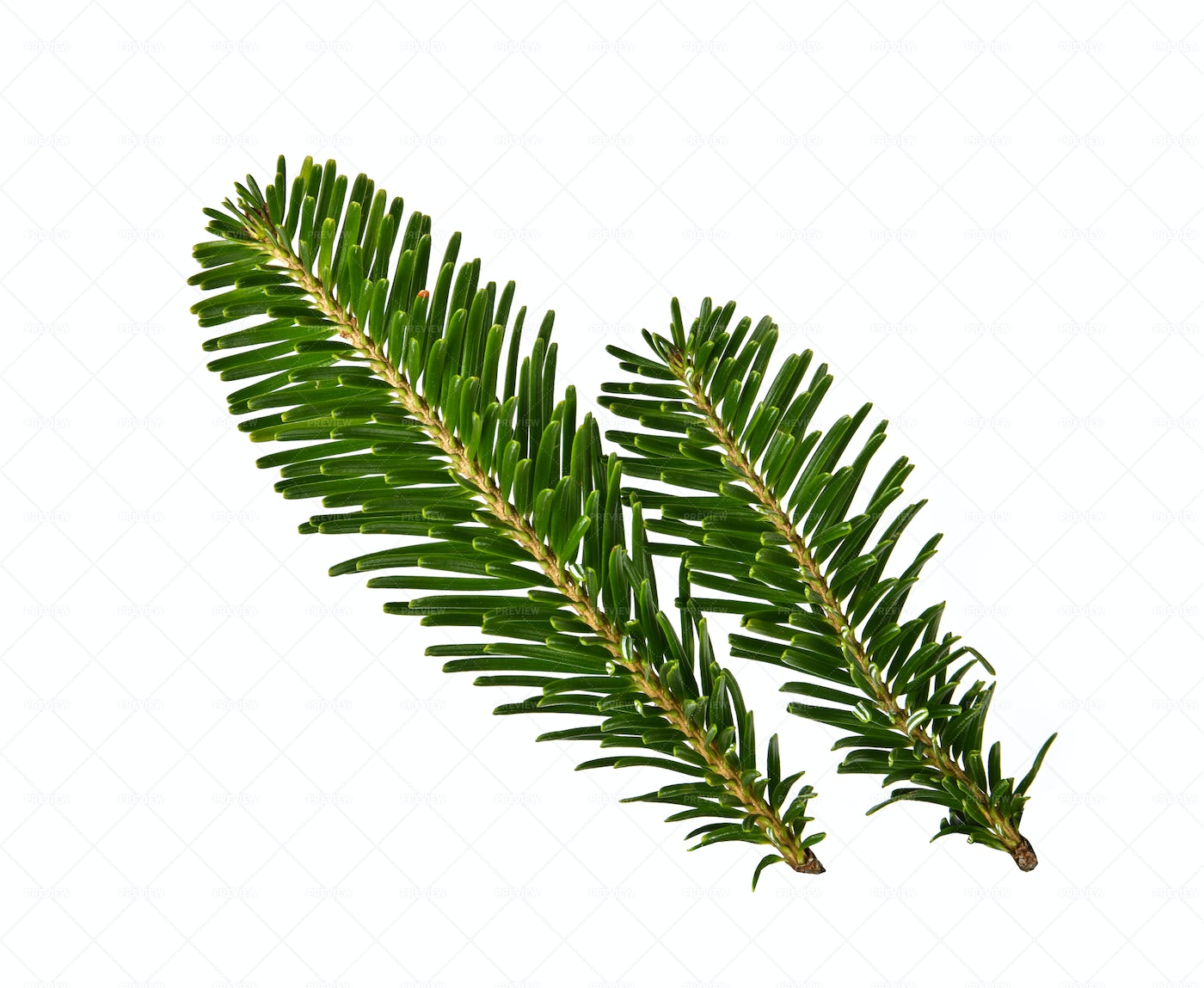 Spruce Tree Branches: Stock Photos