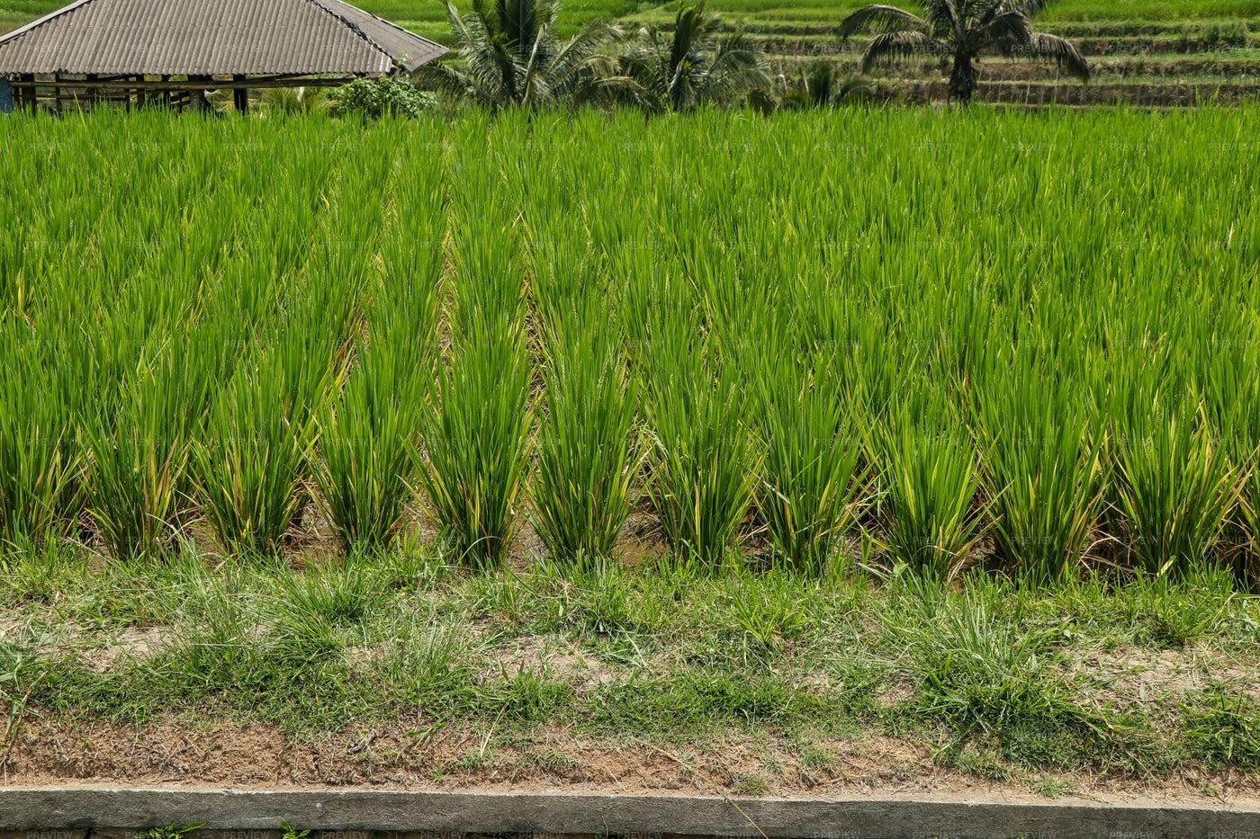 Growing Rice In Bali: Stock Photos