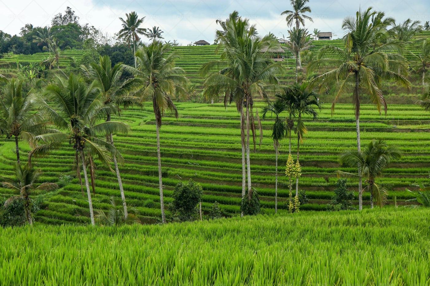 Green Rice Fields: Stock Photos