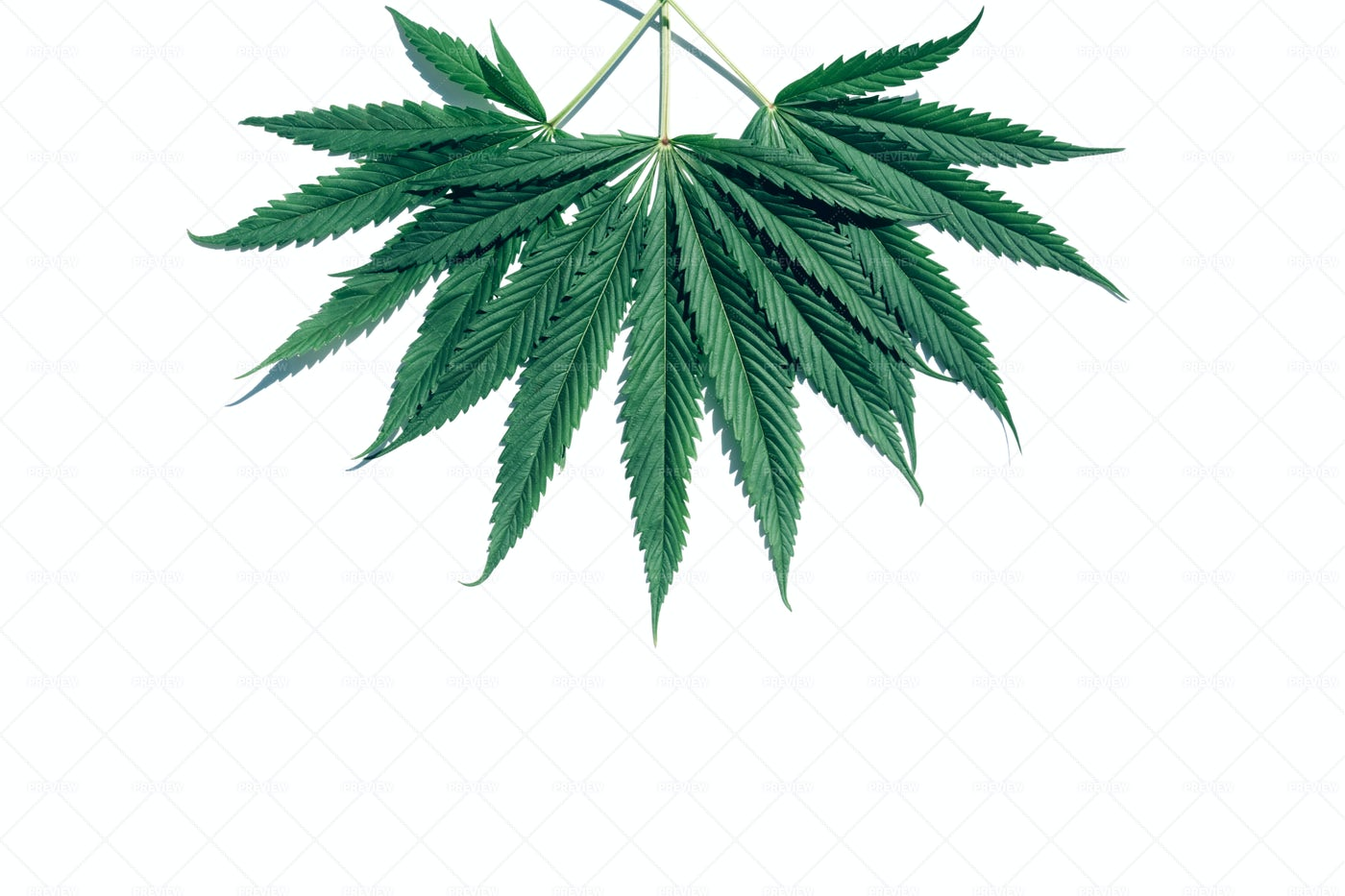 Hanging Marijuana Leaves: Stock Photos