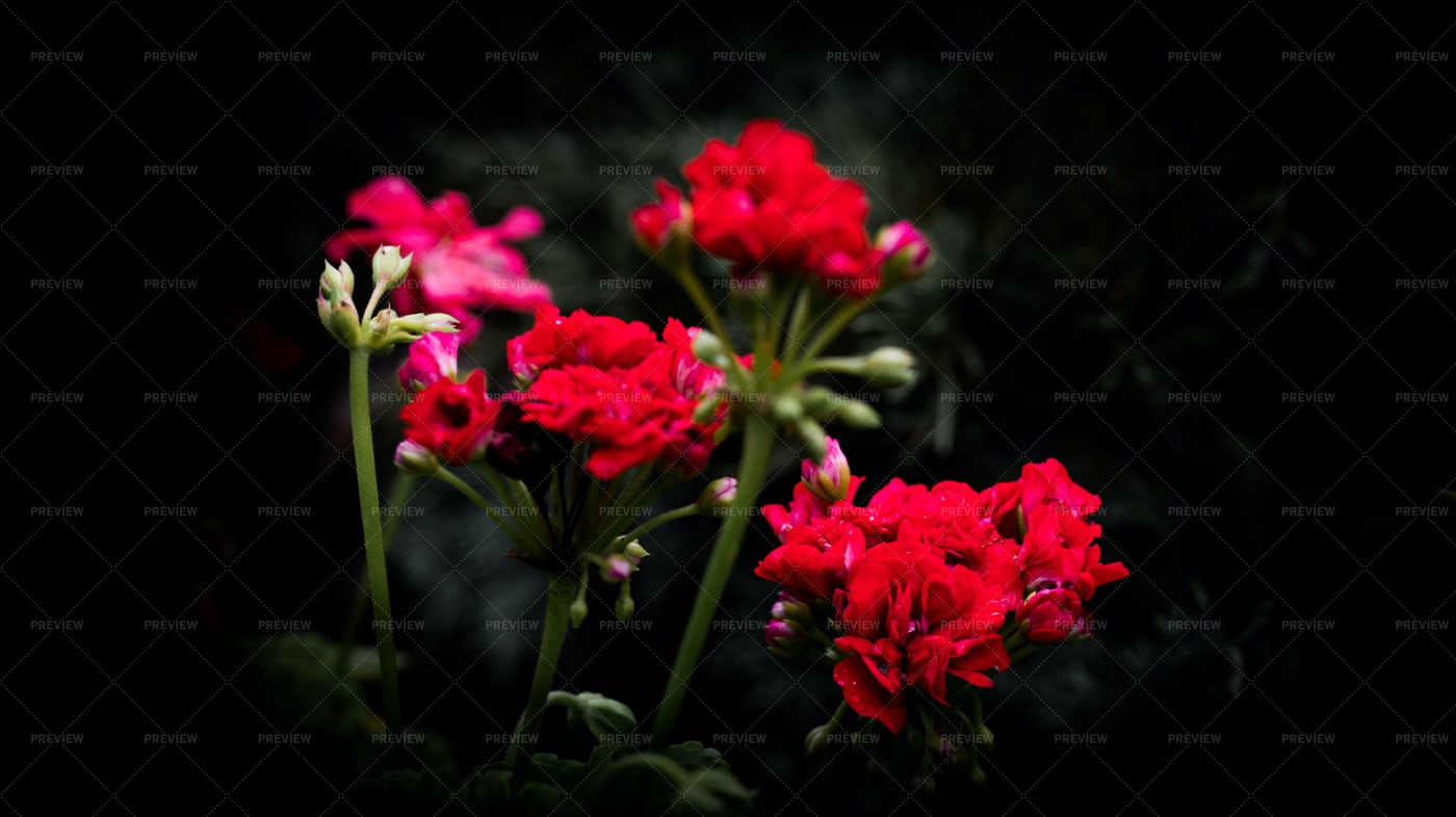 Red Geranium Flower: Stock Photos