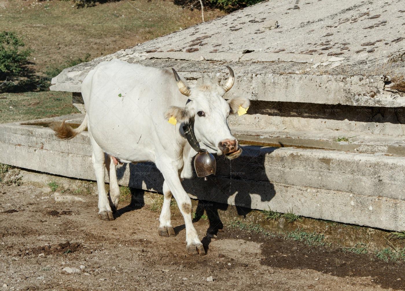 Podolic Cow: Stock Photos