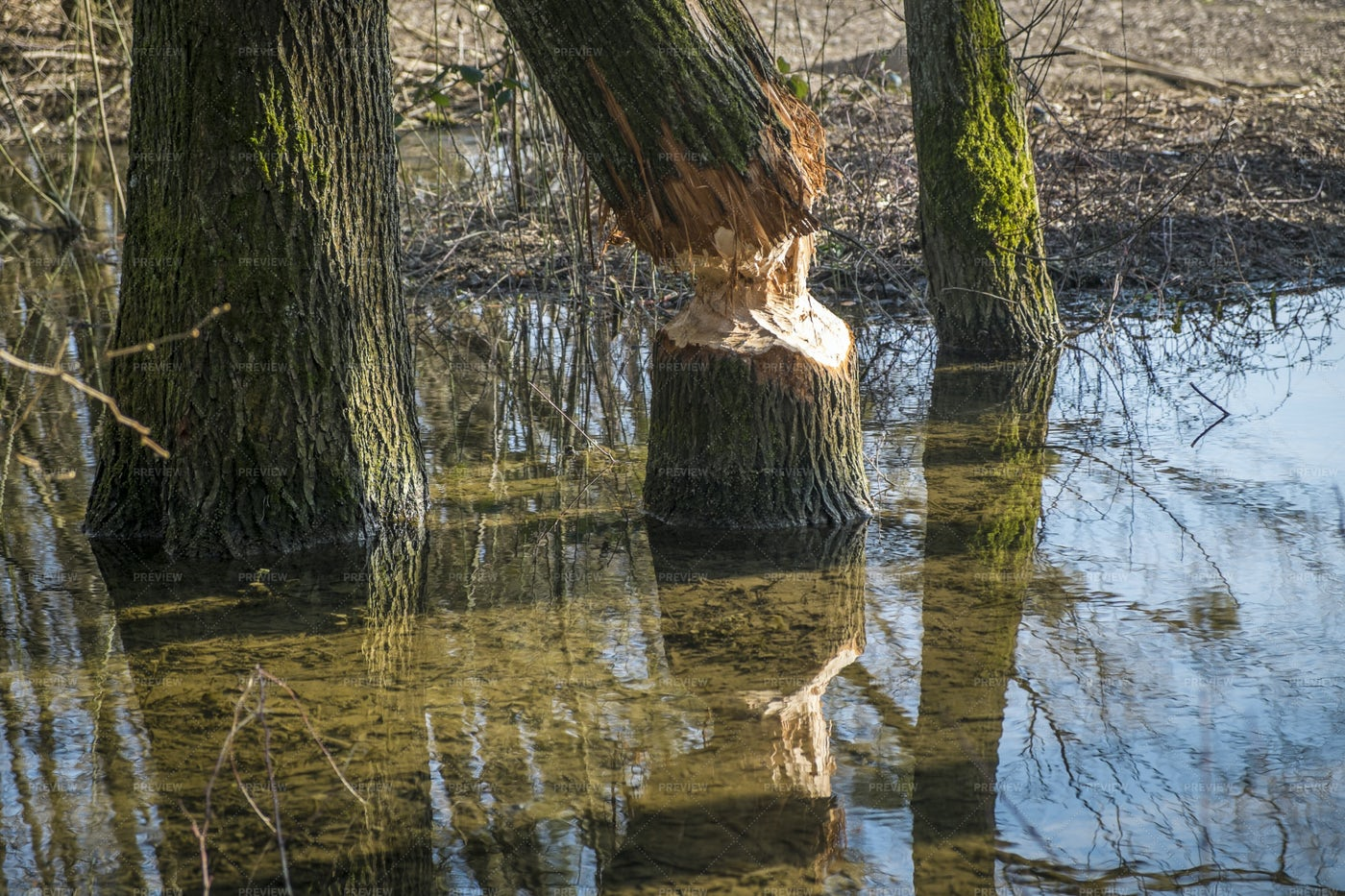 Tree Gnawed By A Beaver: Stock Photos