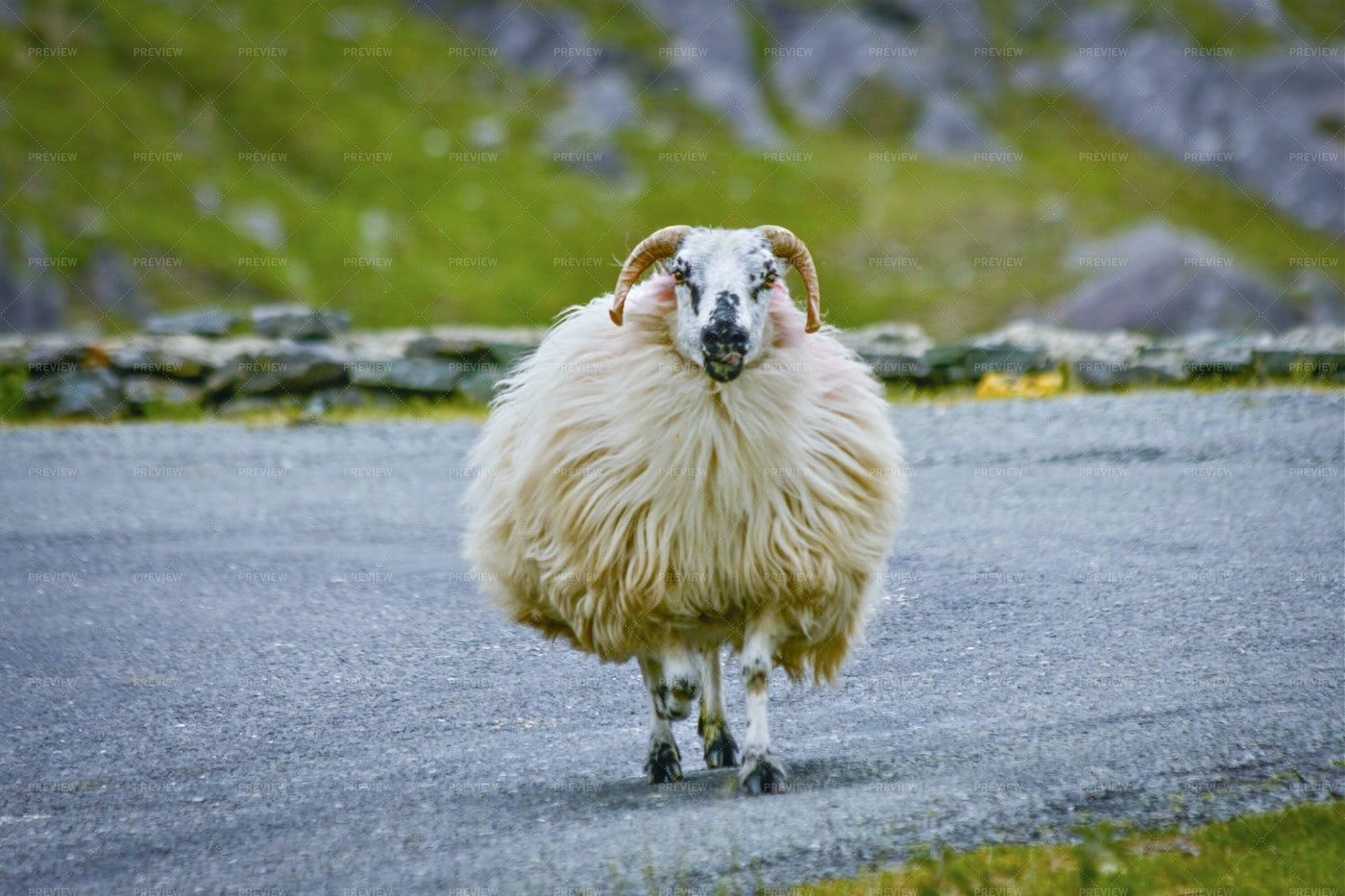 Irland Sheep: Stock Photos