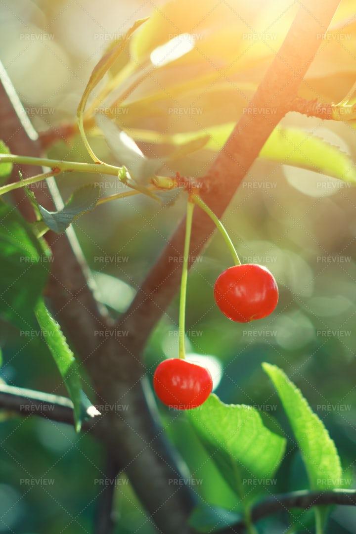 Ripe Cherry On Tree: Stock Photos