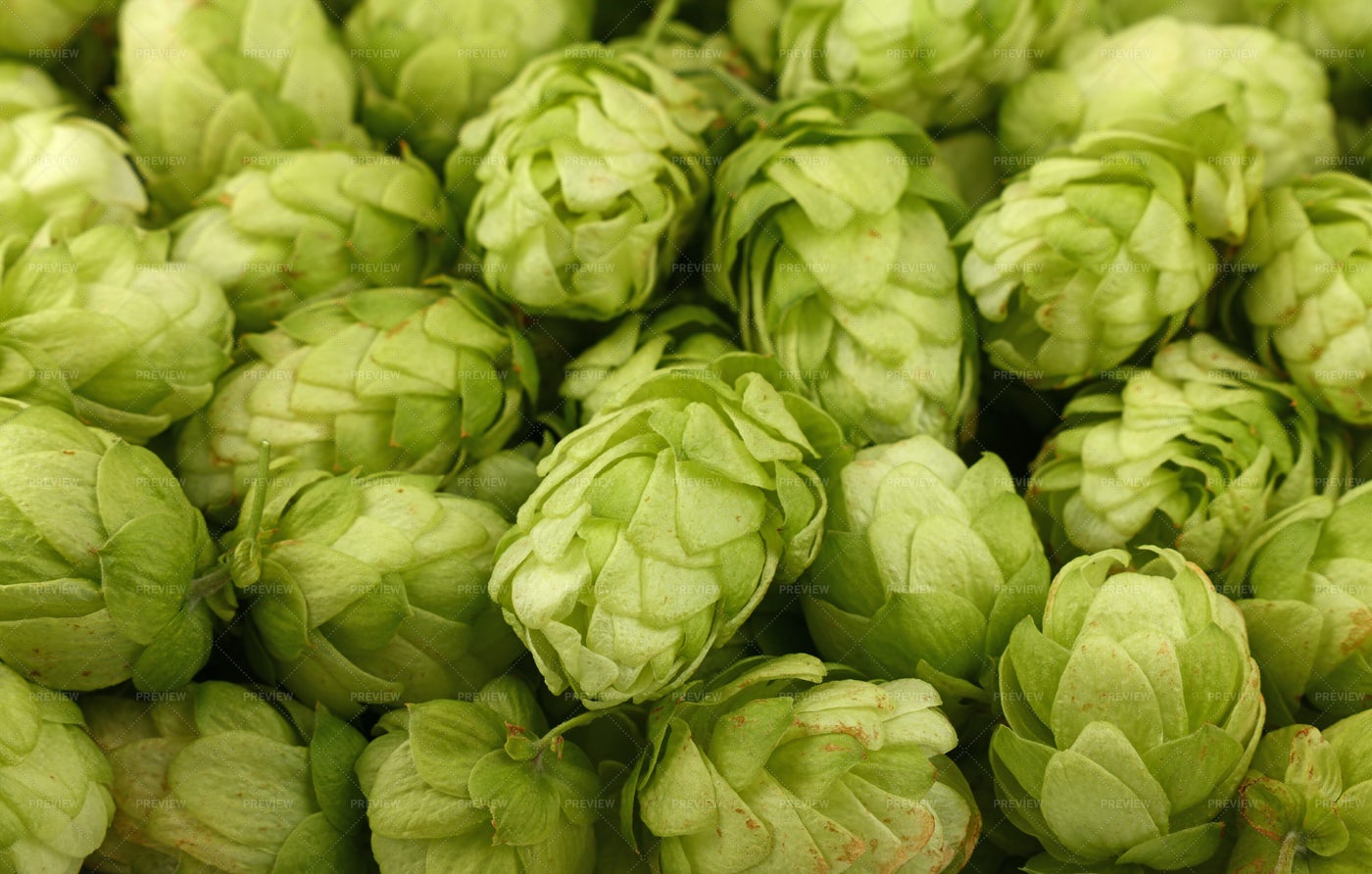 Fresh Green Hops: Stock Photos